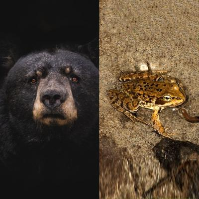 Image with an black bear on one side and a small frog on the other